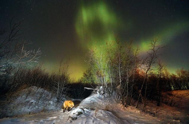 zorro rojo entre las luces del norte (© Greg Lincoln/National Geographic Photo Contest).